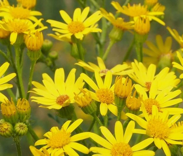 Jakobs-Kreuzkraut - leuchtend goldgelbe Blütenköpfe
